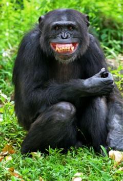 www.adaringadventure.com/wp-content/uploads/2008/07/chimp-smiling3.jpg