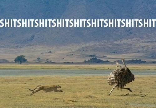 leopard chasing ostrich