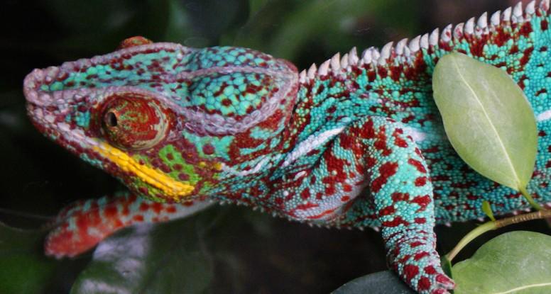 adapting chameleon
